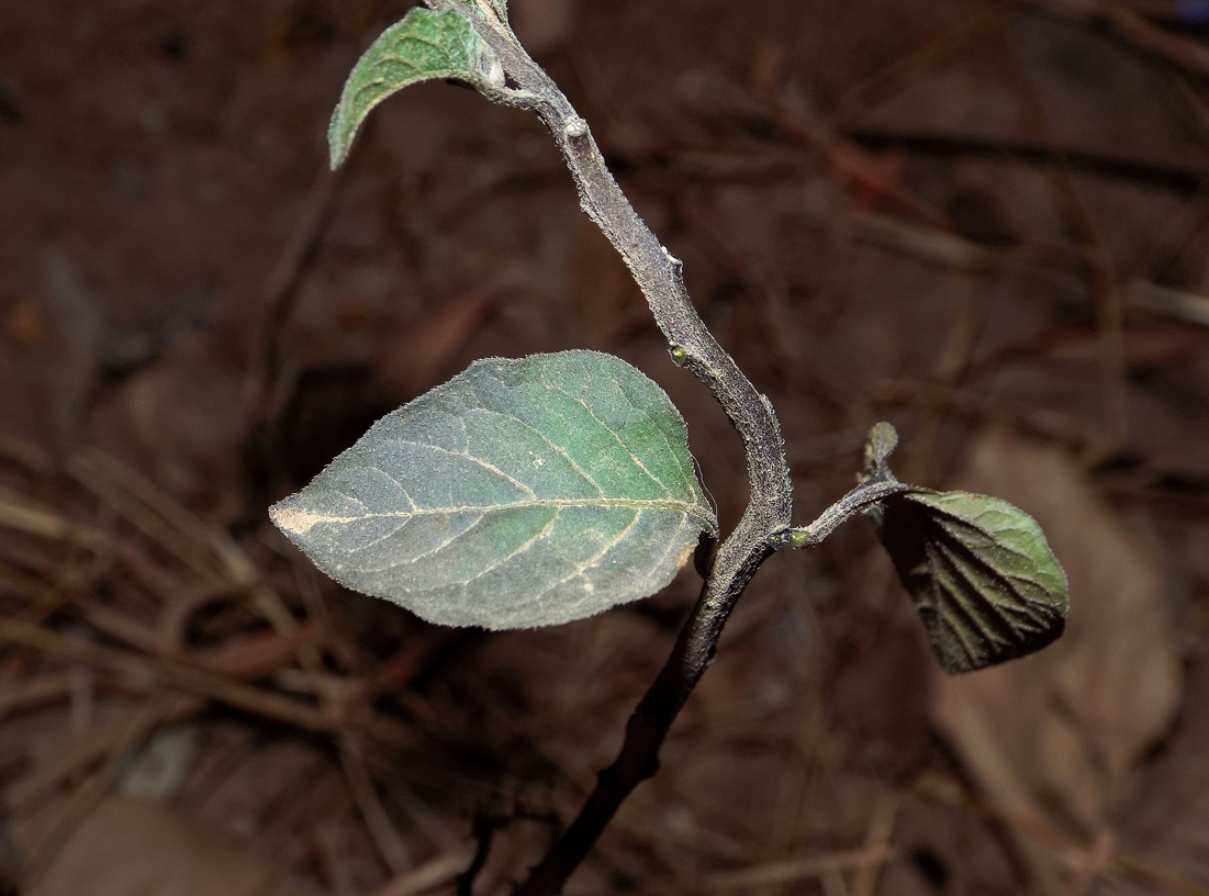 /wp-content/uploads/2020/10/02_Solanum%20nigrum_leaves.jpg