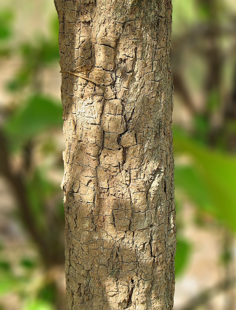 /wp-content/uploads/2020/10/05_Buchanania%20cochinchinensis_bark.jpg