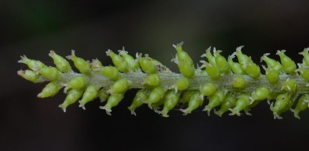 /wp-content/uploads/2020/10/1%20Euphorbiaceae%20%207.jpg
