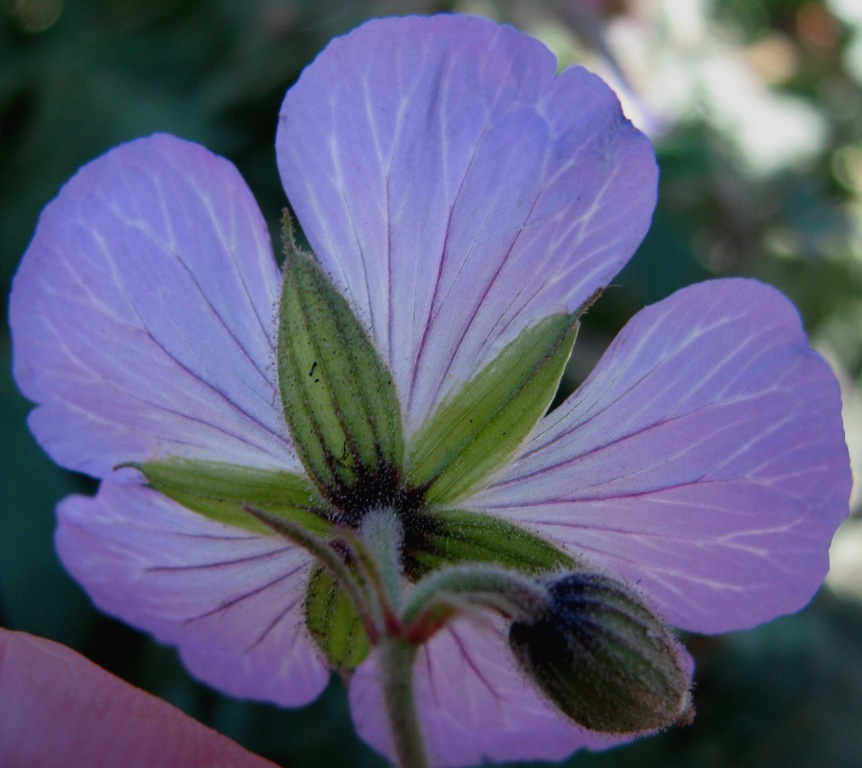 /wp-content/uploads/2020/10/2.%20Geranium%20photographed%20in%20Ladakh%20%20-Chris%20Chadwell-.JPG