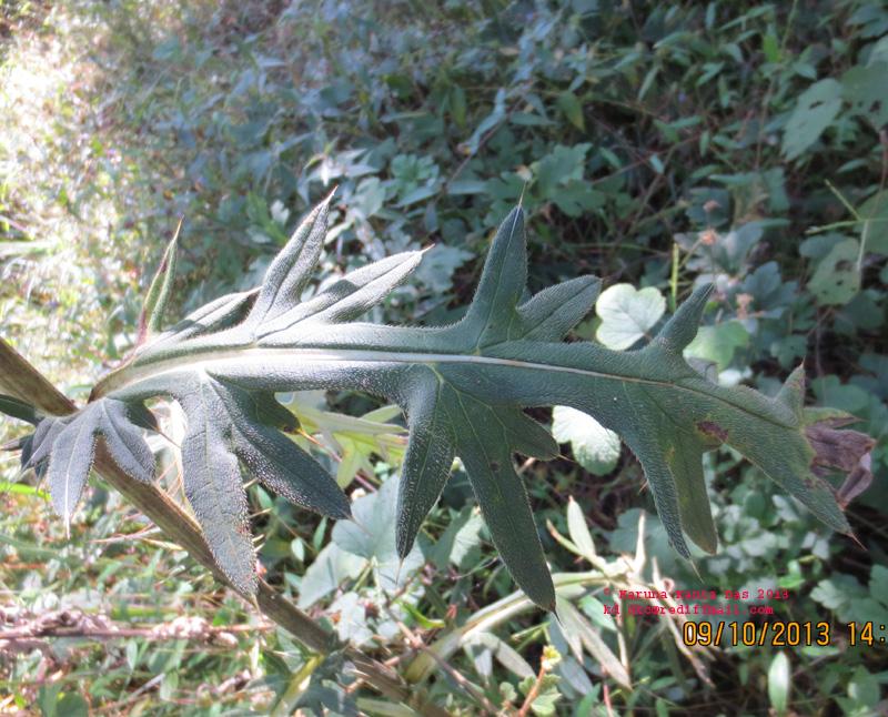 /wp-content/uploads/2020/10/2._Cirsium_sp_-_Leaf_IMG_3506.jpg
