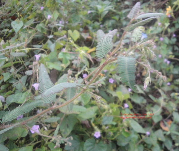 /wp-content/uploads/2020/10/2._Flowering_twig_-_UD._Sp.of_Fabaceae_DSC02459.JPG