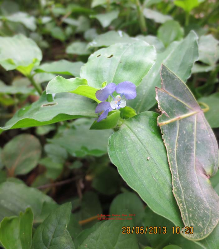 /wp-content/uploads/2020/10/3._Commelina_benghalensis_L._IMG_2234.jpg