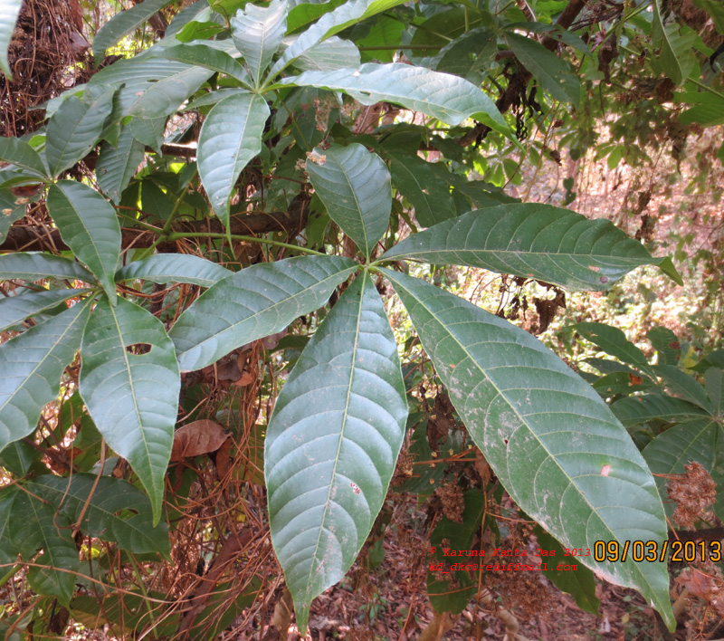 /wp-content/uploads/2020/10/4._Aesculus_assamica_Leaf_IMG_1616.jpg