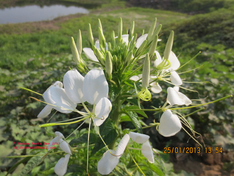 /wp-content/uploads/2020/10/5._Cleome_gynandra_L._with_white_flower__-_IMG_1333.jpg