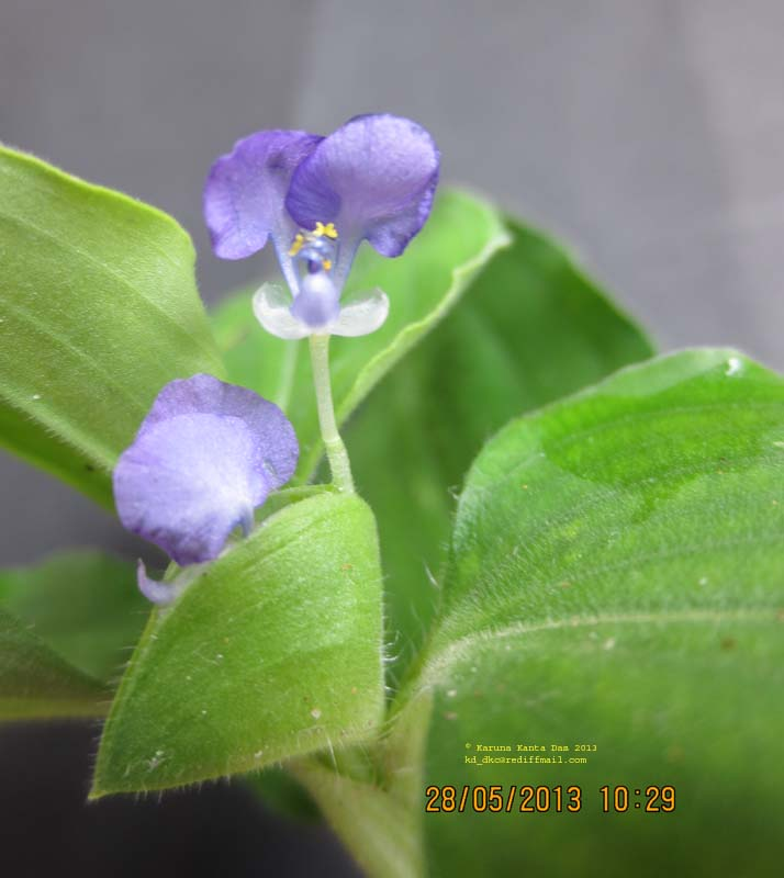 /wp-content/uploads/2020/10/5._Commelina_benghalensis_L_IMG_2246.jpg