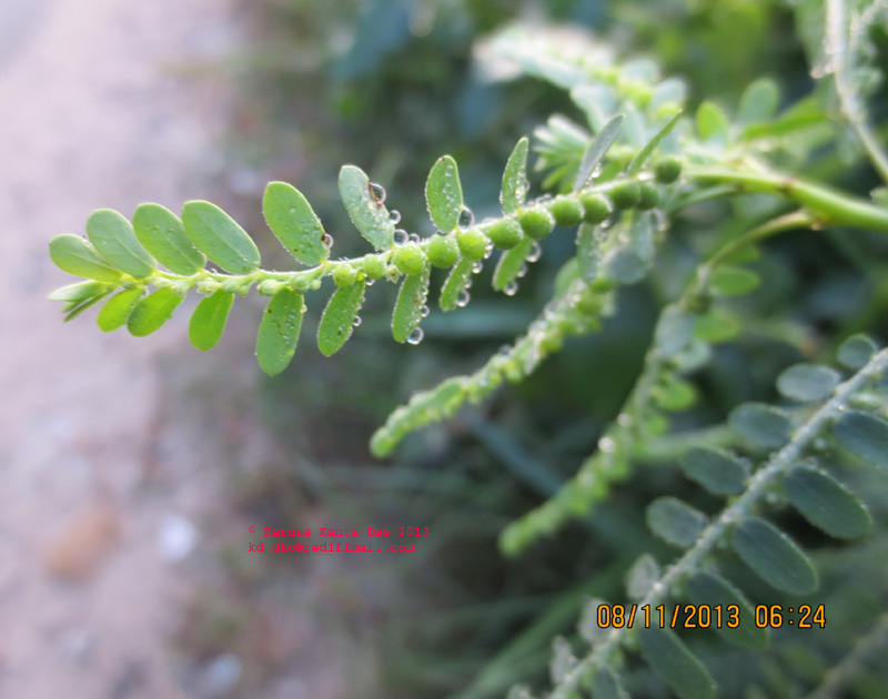 /wp-content/uploads/2020/10/5._Phyllanthus_sp._-_Leaf_bearing_fruits__IMG_4356.jpg