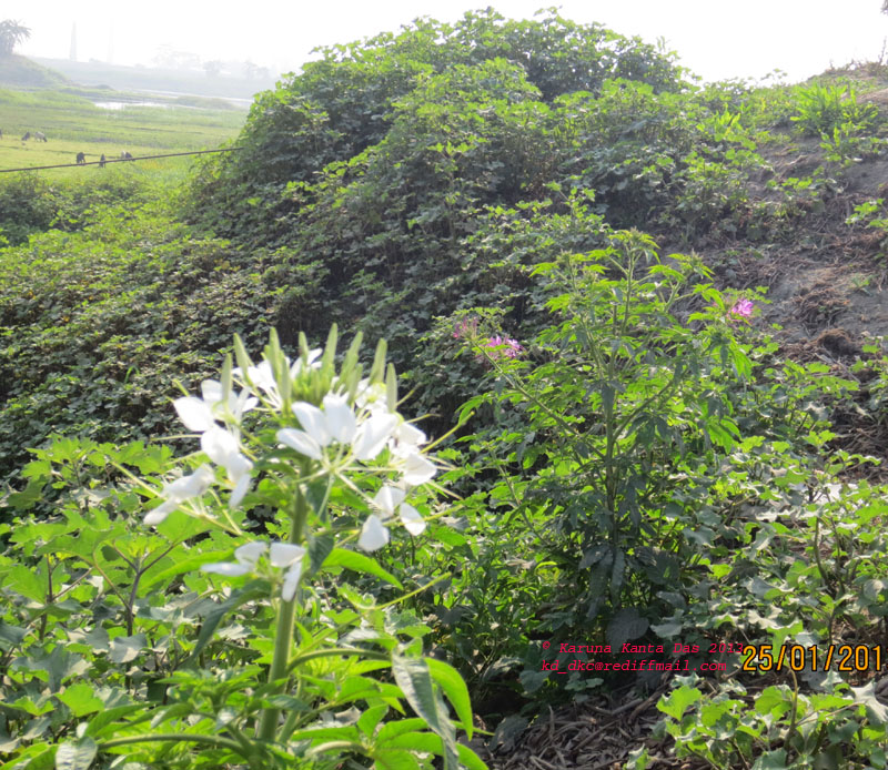 /wp-content/uploads/2020/10/7._Images_of_two_plants_of_Cleome_gynandra_L._one_bearing_white_flower__other_bearing__purple_flower_-_IMG_1340.jpg
