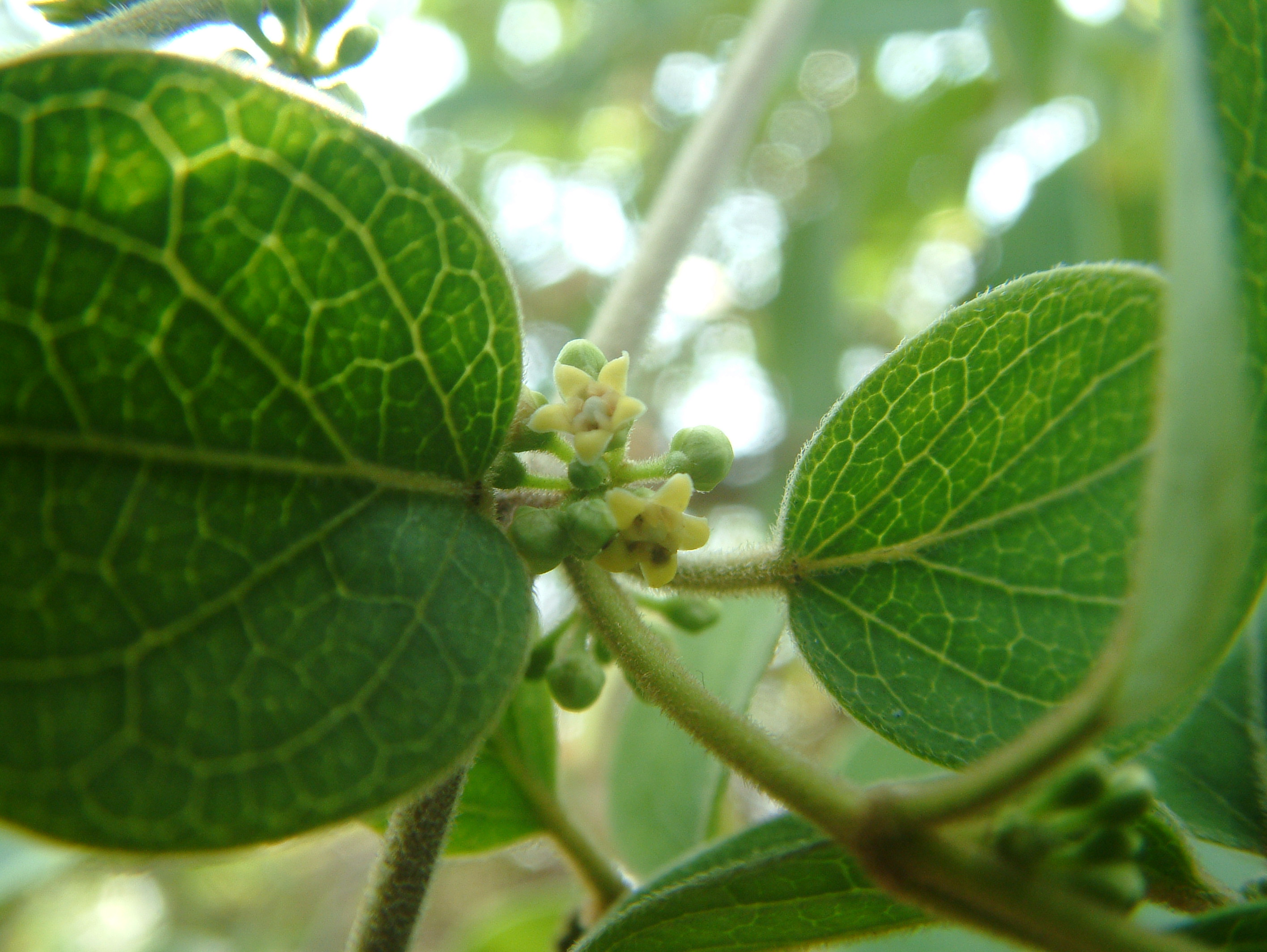 /wp-content/uploads/2020/10/Asclepiadaceae%20member.JPG