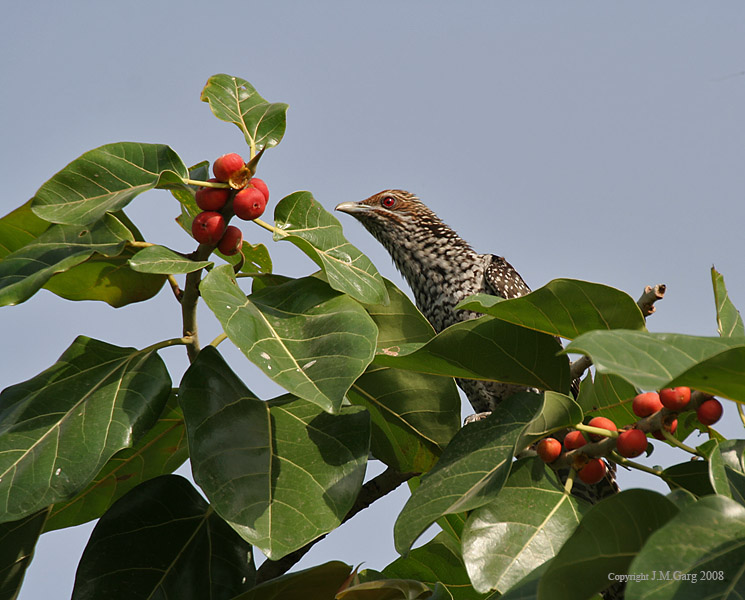 /wp-content/uploads/2020/10/Asian%20Koel%20-Eudynamys%20scolopacea--%20Female%20looking%20for%20ripe%20Banyan%20tree%20-Ficus%20benghalensis-%20figs%20in%20Secunderabad%20I%20IMG_6636.jpg