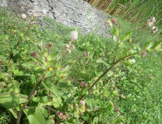 /wp-content/uploads/2020/10/Asteraceae%20-2--7.JPG