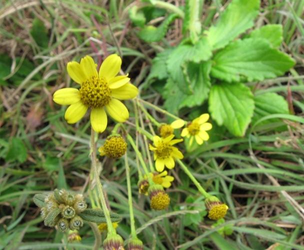 /wp-content/uploads/2020/10/Asteraceae-5.jpg