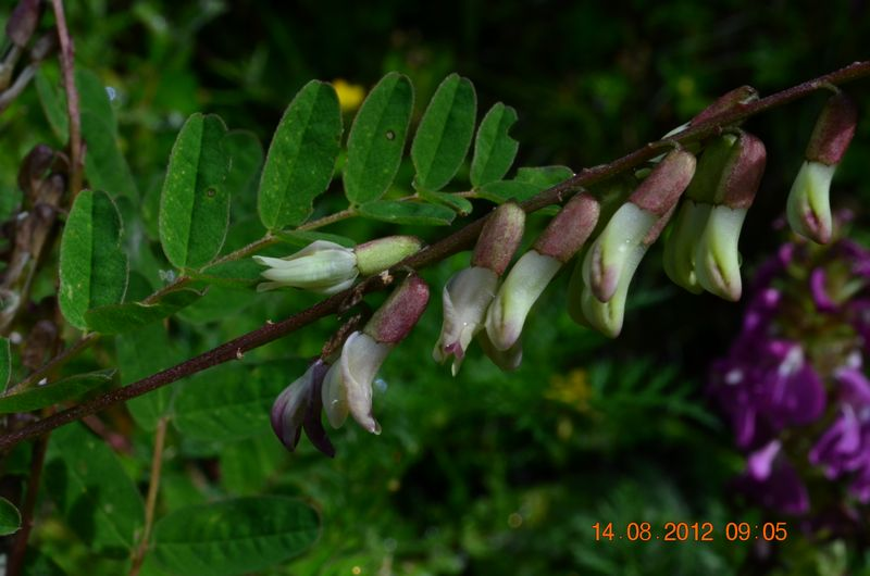 /wp-content/uploads/2020/10/Astragalus%20chlorostachys%20-7-.JPG