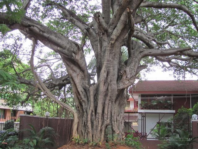/wp-content/uploads/2020/10/Banyan%20Tree%20-%20Aerial%20Root.jpg