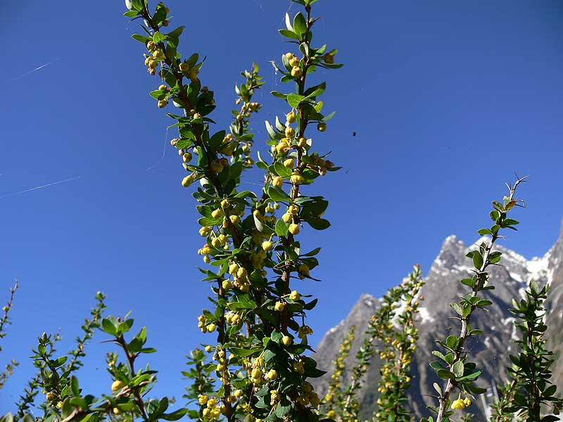 /wp-content/uploads/2020/10/Berberis%20angulosa.a.jpg.jpg