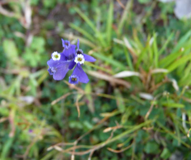 /wp-content/uploads/2020/10/BlueWildflower-ID-Kerala-4.jpg