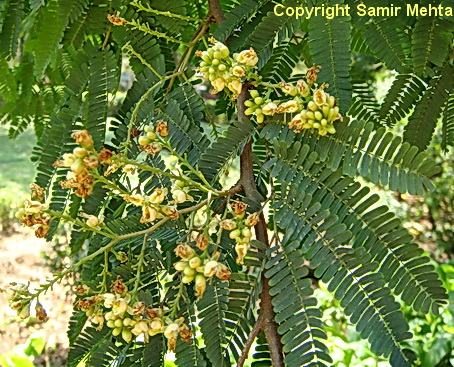/wp-content/uploads/2020/10/Caesalpinia%20coriaria-%20flowering%20twig%20-%20zoo%20DSC04865.jpg