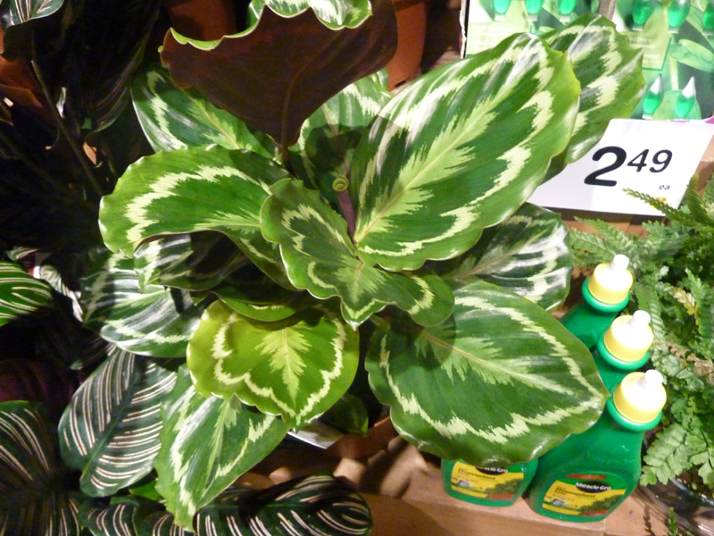 /wp-content/uploads/2020/10/Calathea-roseopicta%20-Medallion--Summerwinds%20Nursery%20Sunnyvale-P1090023-California-2.jpg