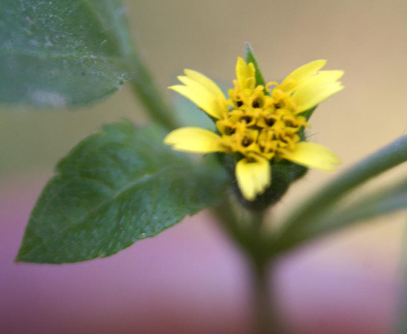 /wp-content/uploads/2020/10/Calyptocarpus-vialis-Rajouri-gdn-28-2-DSC02934-Delhi-3.jpg