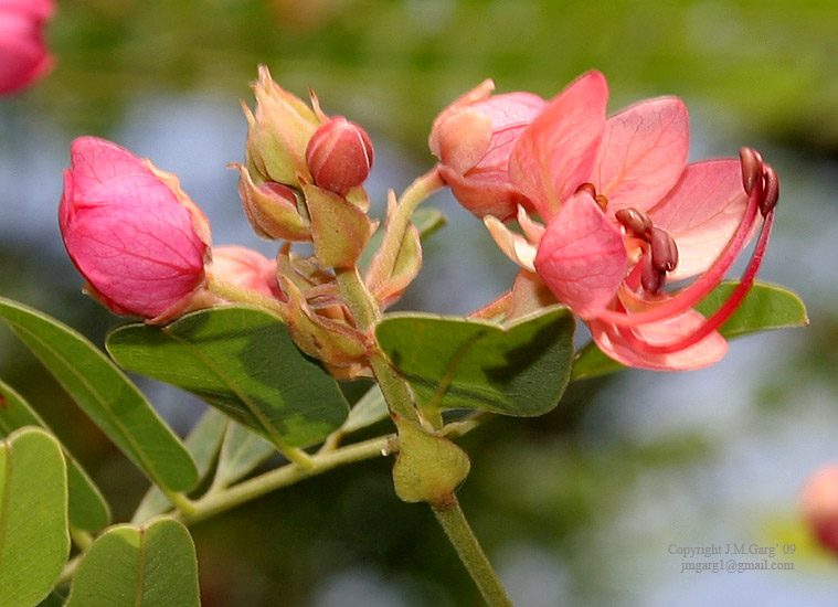 /wp-content/uploads/2020/10/Cassia%20roxburghii%20-Red%20Cassia-%20flowers%20in%20Hyderabad%20I2%20IMG_8953.jpg