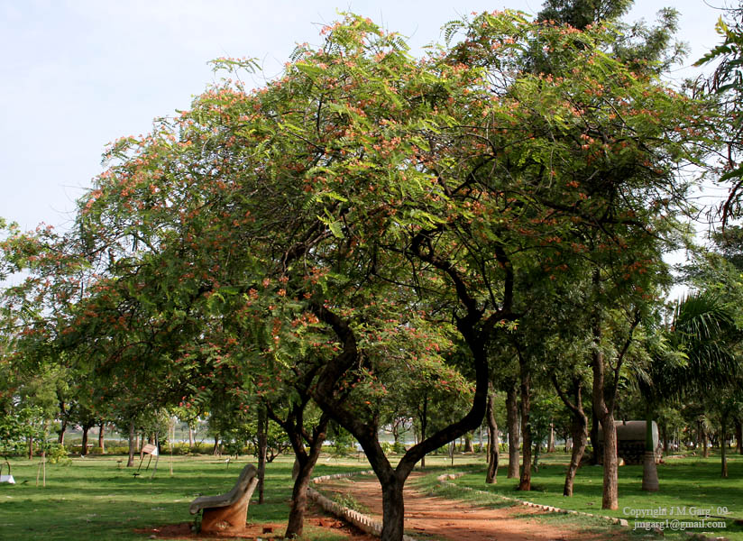 /wp-content/uploads/2020/10/Cassia%20roxburghii%20-Red%20Cassia-%20tree%20in%20Hyderabad%20I%20IMG_8951.jpg