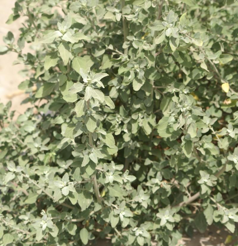 /wp-content/uploads/2020/10/Chenopodium-Vikas-puri-H-block-10-6-DSC01587-Delhi-3.jpg