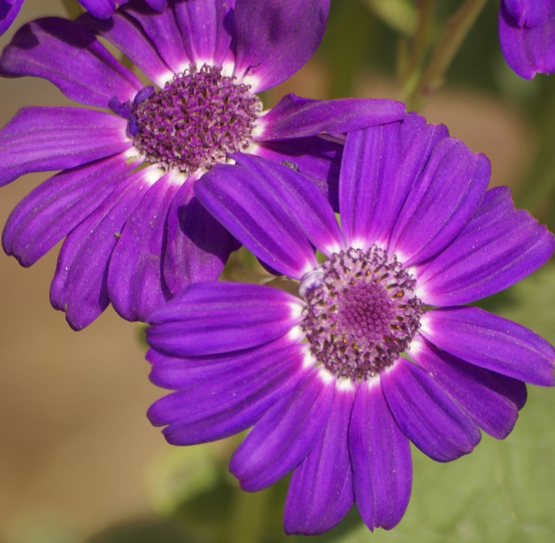 /wp-content/uploads/2020/10/Cineraria-cruenta-flower-Delhi-5.jpg