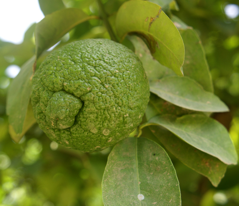 /wp-content/uploads/2020/10/Citrus-jambhiri-Herbal-gdn-17-8-DSC03835-Delhi-4.jpg