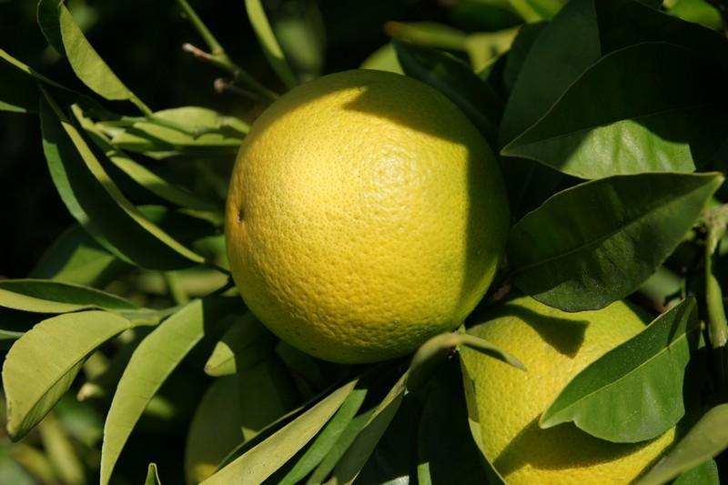 /wp-content/uploads/2020/10/Citrus-paradisii-California-2.jpg