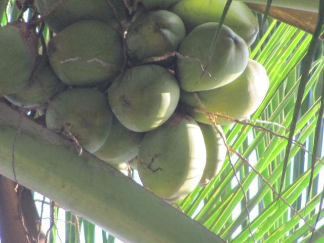 /wp-content/uploads/2020/10/Coconut%20Tree%20-%200000.jpg