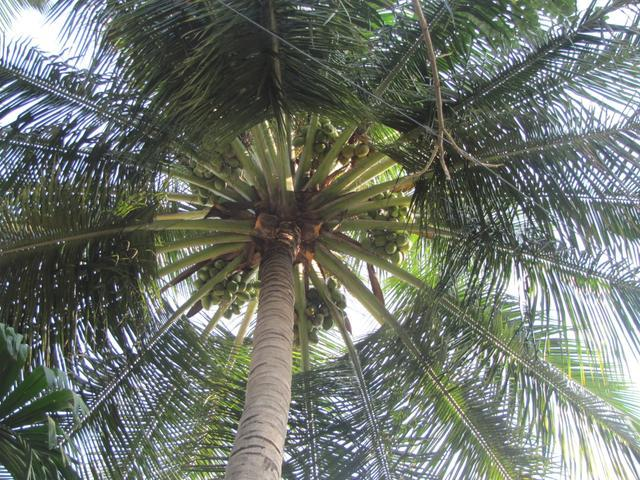 /wp-content/uploads/2020/10/Coconut%20Tree%20-%20Canopy.jpg