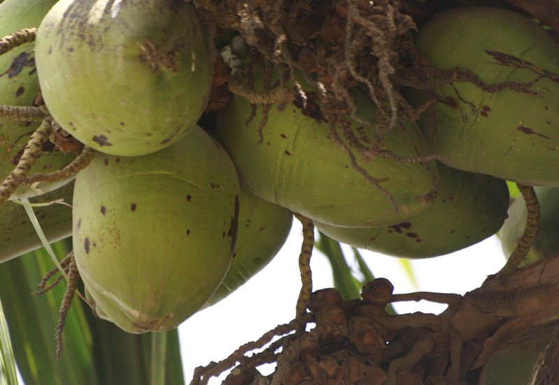 /wp-content/uploads/2020/10/Cocos-nucifera-fruit-cambridge-school-rajouri-gdn-16-4-Delhi-3.jpg