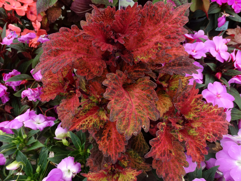 /wp-content/uploads/2020/10/Coleus%20-Indian%20Summer--Summerwinds%20Nursery%20Sunnyvale-DSC00529.jpg