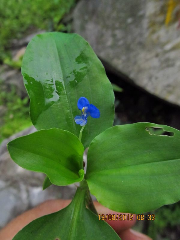 /wp-content/uploads/2020/10/Commelina%20benghalensis%20-2-.JPG