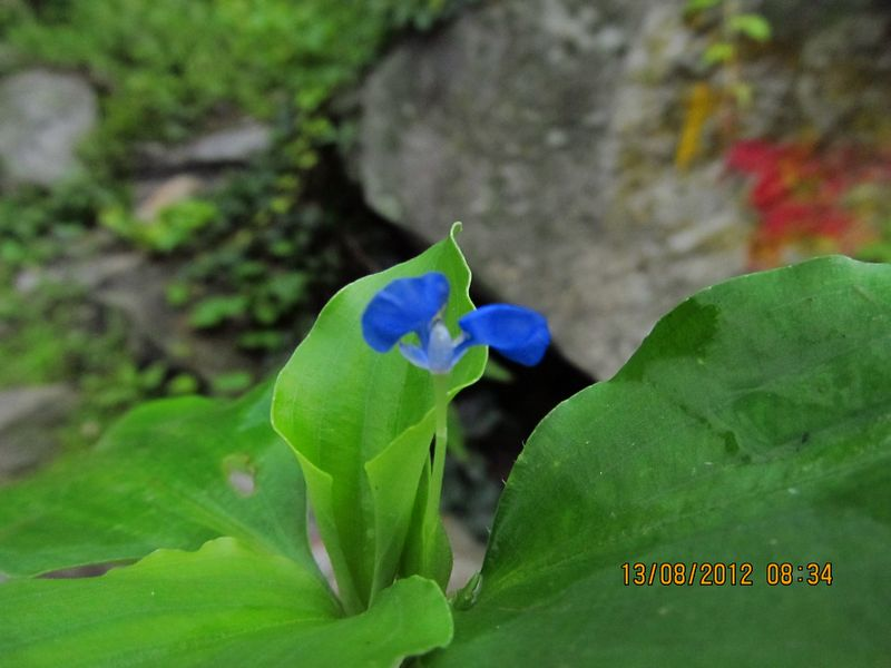 /wp-content/uploads/2020/10/Commelina%20benghalensis%20-4-.JPG