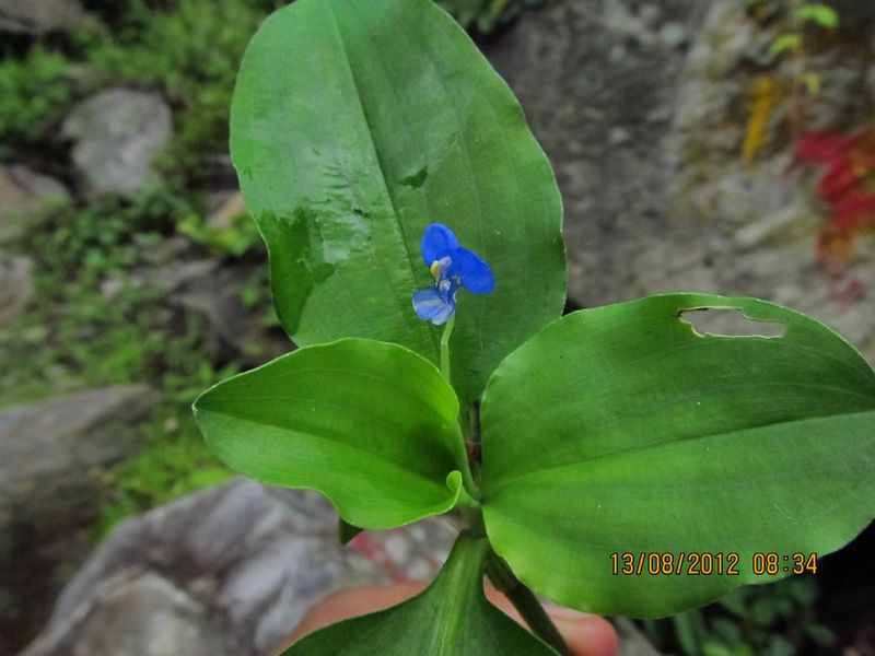 /wp-content/uploads/2020/10/Commelina%20benghalensis%20-5-.JPG