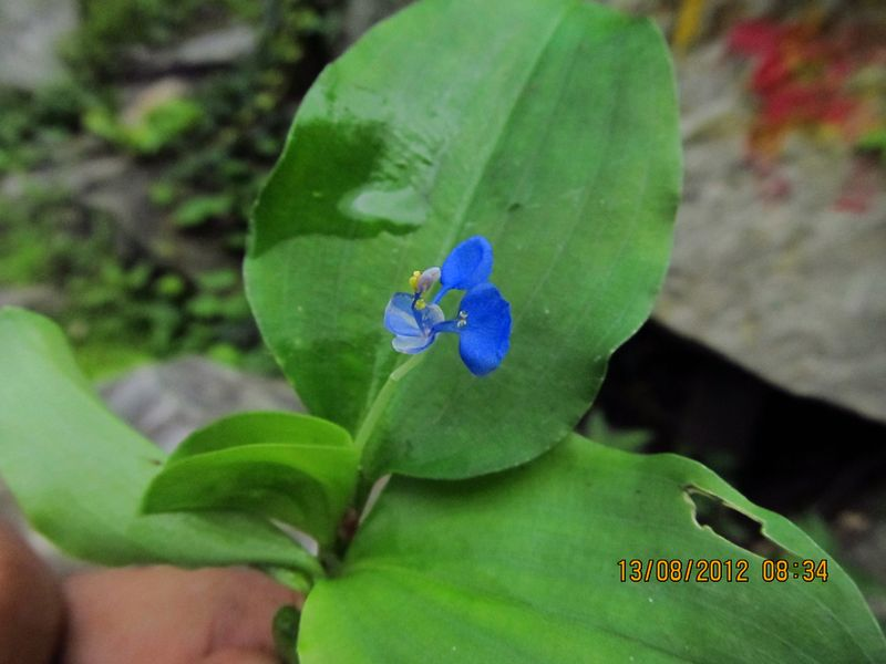 /wp-content/uploads/2020/10/Commelina%20benghalensis%20-9-.JPG
