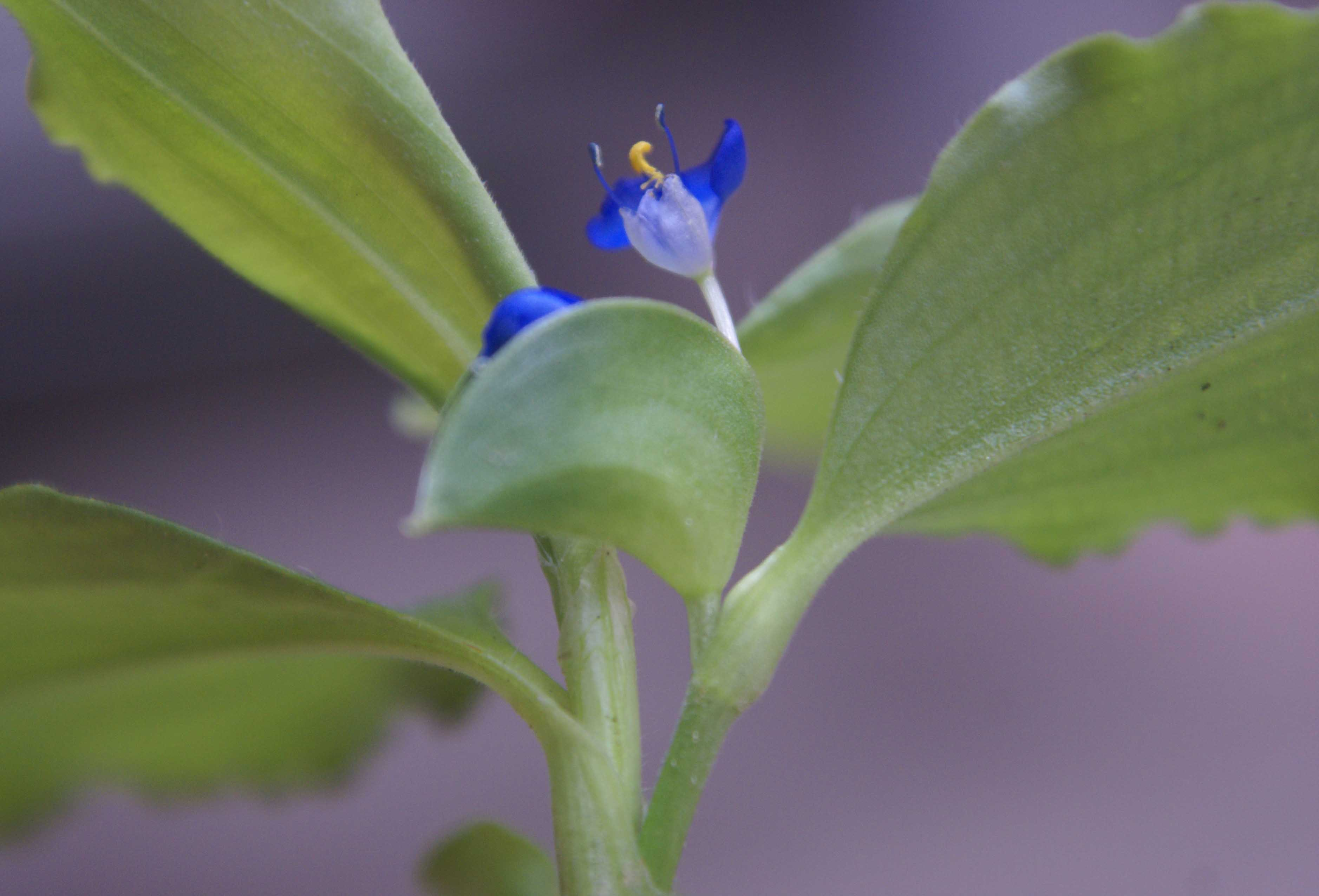 /wp-content/uploads/2020/10/Commelina-benghalensis-3.jpg