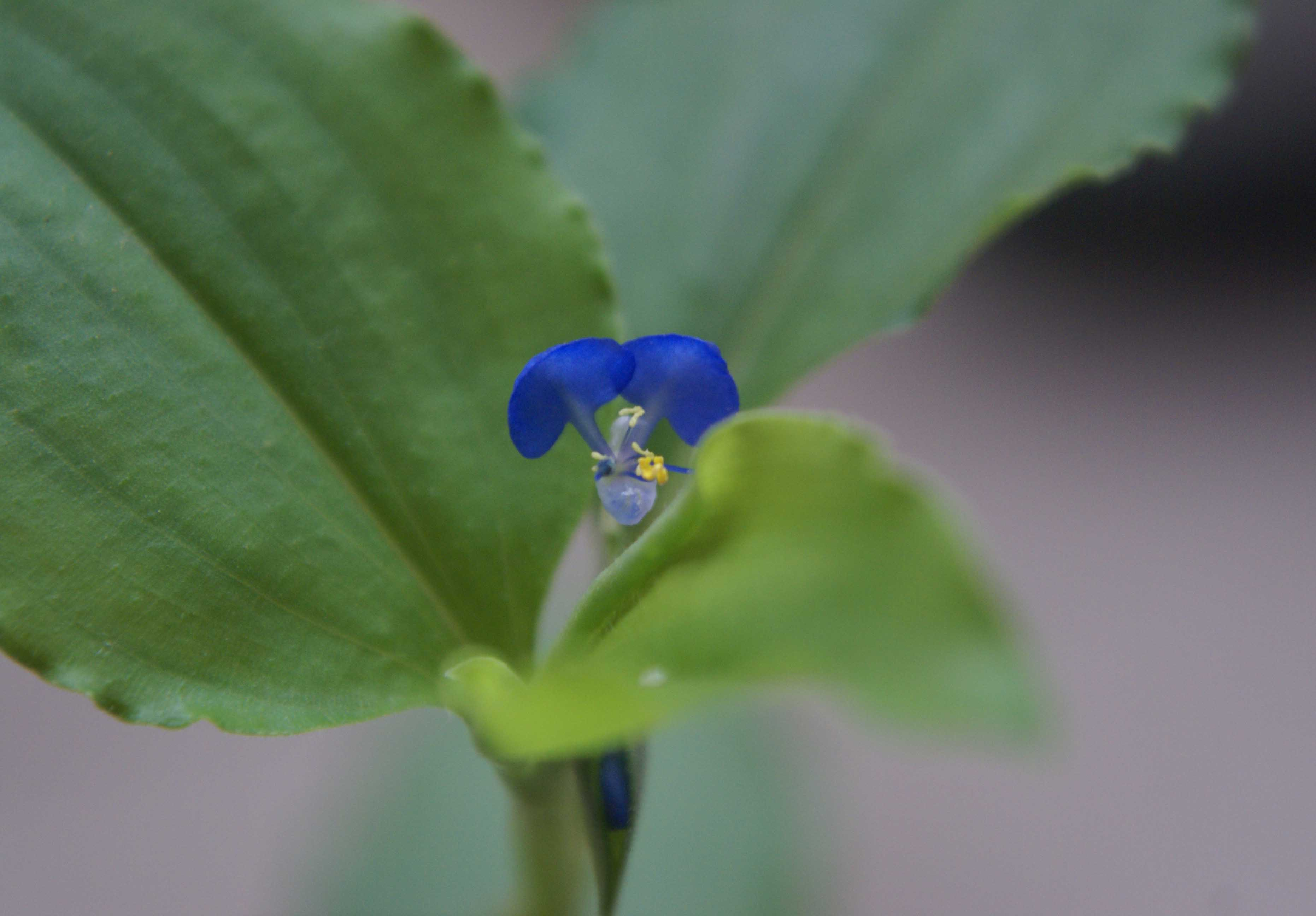 /wp-content/uploads/2020/10/Commelina-benghalensis-6.jpg