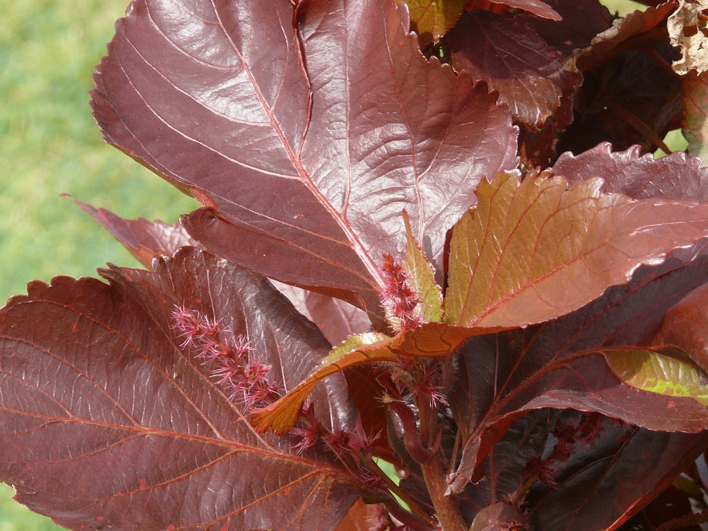 /wp-content/uploads/2020/10/Copper%20Leaf-Jacob-s%20Coat-Acalypha%20wilkesiana-P1030747.JPG