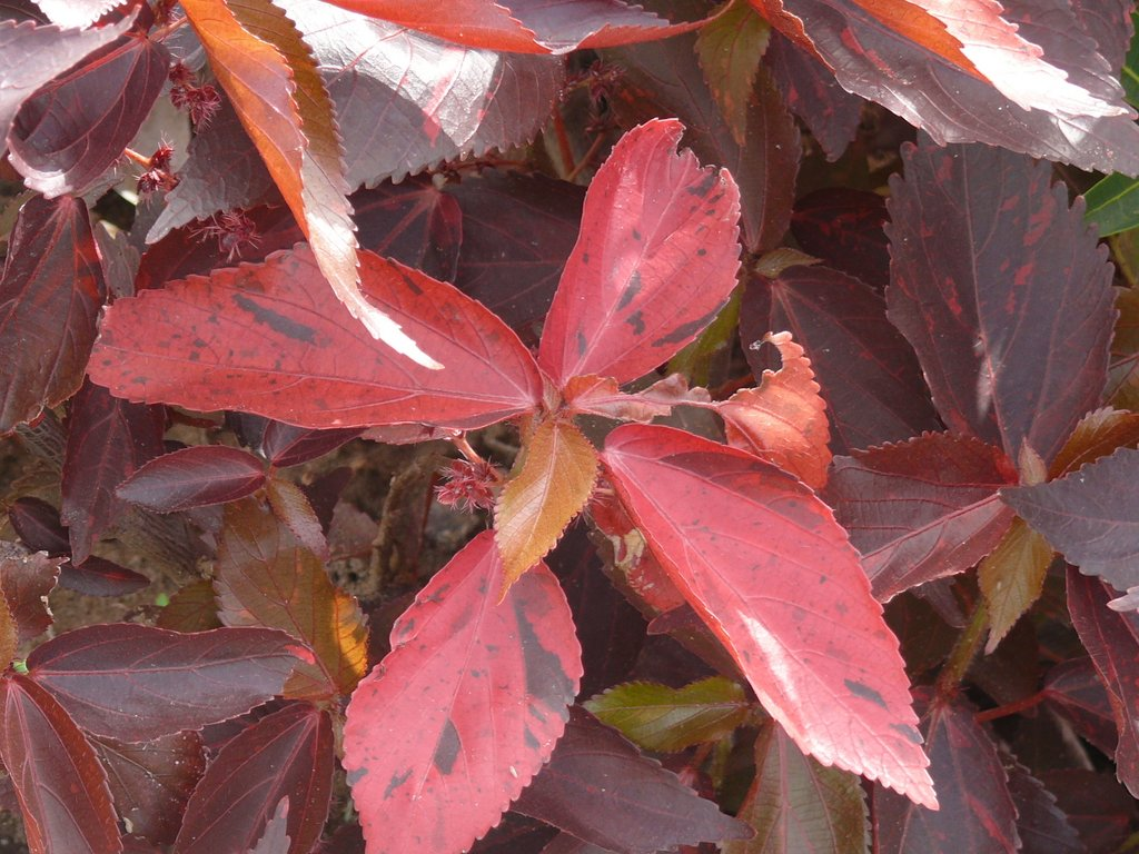/wp-content/uploads/2020/10/Copper%20Leaf-Jacob-s%20Coat-Acalypha%20wilkesiana-P1030755.JPG