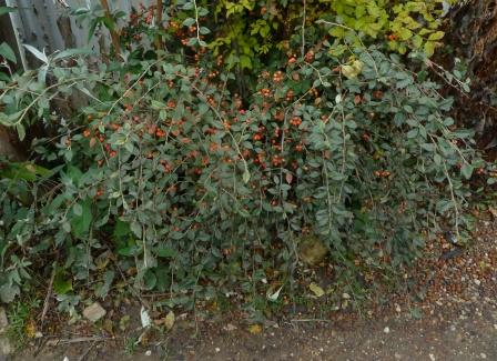 /wp-content/uploads/2020/10/Cotoneaster%20A%20UK%20-Chris%20Chadwell%202016-%20II.JPG