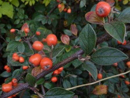 /wp-content/uploads/2020/10/Cotoneaster%20A%20UK%20-Chris%20Chadwell%202016-%20V.JPG