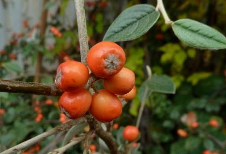 /wp-content/uploads/2020/10/Cotoneaster%20A%20UK%20-Chris%20Chadwell%202016-%20VI.JPG