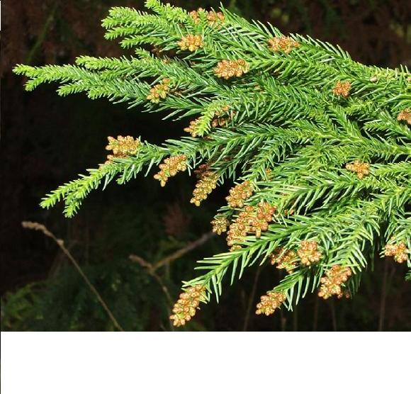 /wp-content/uploads/2020/10/Cryptomeria%20japonica%20male.jpg