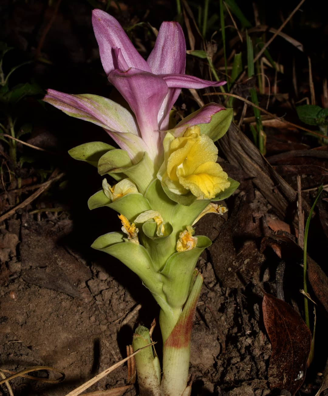 /wp-content/uploads/2020/10/Curcuma%20species%20inflorescence..jpg