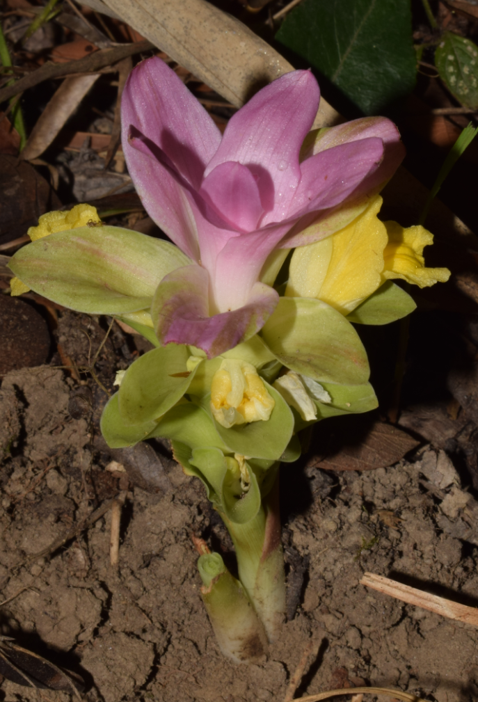 /wp-content/uploads/2020/10/Curcuma%20species.png