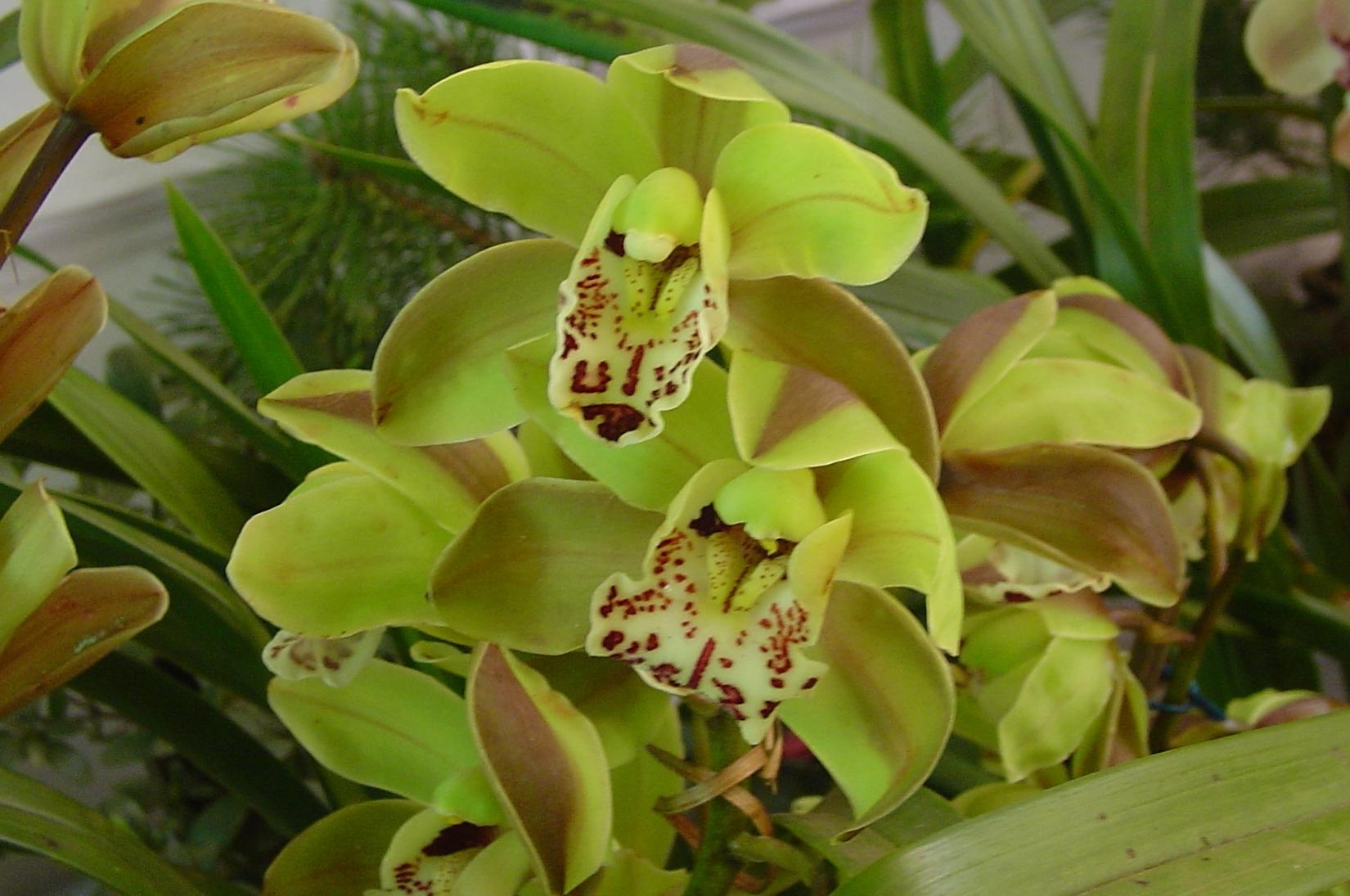 /wp-content/uploads/2020/10/Cymbidium%20green-2.JPG