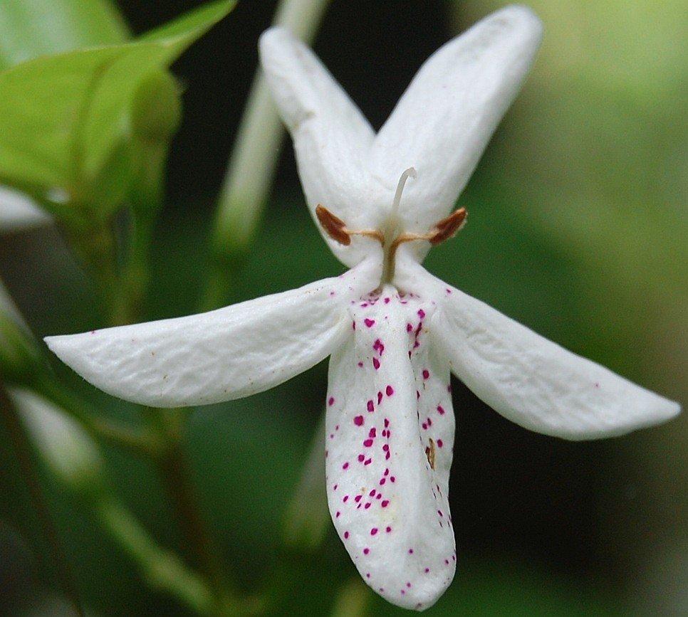 /wp-content/uploads/2020/10/DSC_7725b%20Pastel%20Flower%20Pseuderanthemum%20variabile%20Acanthaceae.jpg