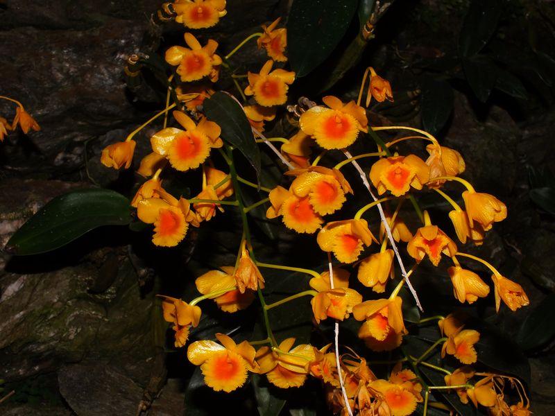 /wp-content/uploads/2020/10/Dendrobium%20chrysotoxum%20-1-.JPG